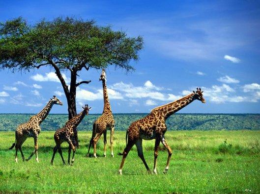 Giraffa-8