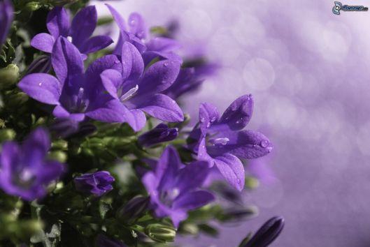 fiori-viola-199553